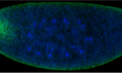 Image from Little et al., Plos Biol 2011.