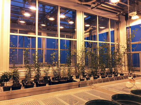 citrus plants in the greenhouse