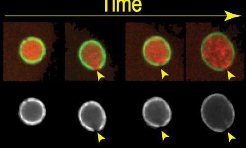 Bahmanyar Nuclear Envelope DNA
